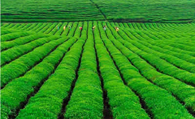 Dragon Well Tea Plantation