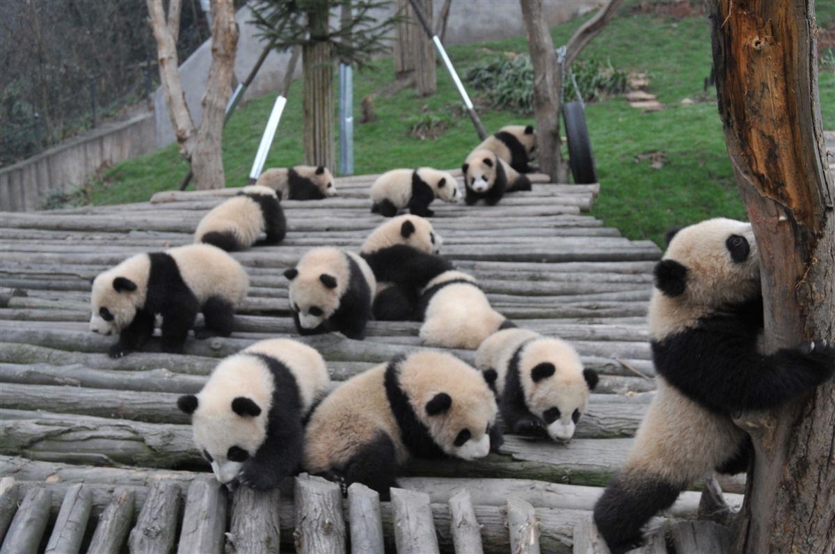 Bifengxia_Panda_Base.jpg